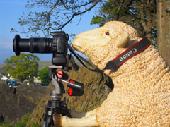 Official sheep photographer